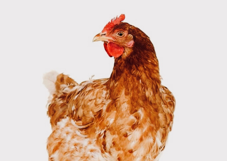A bird sitting on top of a chicken Description automatically generated