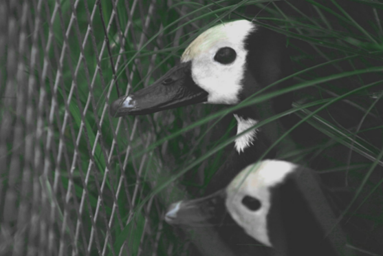 A picture containing black, giant panda Description automatically generated